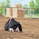 هایپوکالمی حاد در گاوها