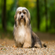 سگ نژاد هاوانیز (Havanese)