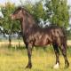 اسب نژاد نورمن کاب (norman cob horse)