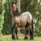 اسب نژاد آردنایز (ardennais horse)