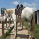 اسب نژاد کامارگو (camargue horse)
