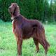 سگ آیریش ستر (Irish Setter)