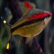 ماهی بارب دنیسون یا رد لاین