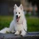 سگ جاپانیز اشپیتز (Japanese Spitz)