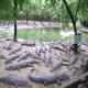 پرورش صنعتی تمساح و کروکودیل (بخش دوم)