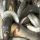 نسل کشی ماهی سفید دریای خزر