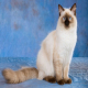 گربه نژاد رگدال (Ragdoll)