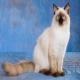 گربه نژاد رگ دال (Ragdoll)