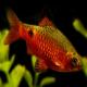 ماهی رزی بارب (Rosy Barb)