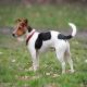سگ جک راسل (Jack Russell Terrier)