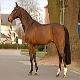 اسب نژاد فرنچ تروتر (french trotter horse)