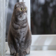 گربه نژاد اسکاتیش فولد (Scottish Fold)