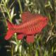 ماهی بارب آلبالویی