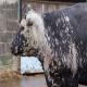 شناخت بیماری کچلی گاو
