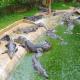 آشنایی با بیماریهای تمساح و کروکودیل