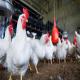 كیفیت هوا و تهویه در سالنهای پرورش مرغ گوشتی