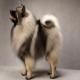 سگ نژاد کیزهاند (Keeshond)