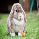 کاهش کلسیم خون در خرگوش