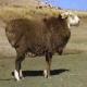 گوسفند نژاد آلتای (Altay sheep)