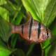 ماهی بارب پنج خط