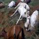 قتل عام اسبهای کولبران!
