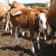پنومونی آنزئوتیک گوسالهها
