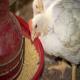 سیستمهای دانخوری در جوجههای گوشتی