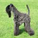 سگ کری بلو تریر (Kerry Blue Terrier)