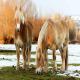 اسب نژاد برتن (Breton horse)