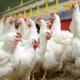 بهبود عملکرد مرغداری باتوجه به رفتار مرغ ها