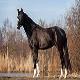اسب نژاد تراکنر (Trakehner horse)