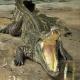 رفتارشناسی تمساح و کروکودیل