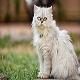گربه نژاد چین چیلا (Chinchilla)