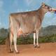 گاو براون سوئیس (Brown swiss)