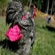 پوشک مرغ، به تجارتی پرسود در آمریکا تبدیل شد