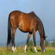 اسب نژاد هانورین (Hanoverian)