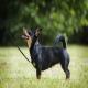 سگ لنکشر هیلر (Lancashire Heeler)