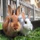 همه چیز در مورد پرورش خرگوش ها