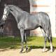 اسب نژاد هلشتاین (holstein horse)