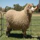 گوسفند نژاد مرینوس (merino)