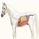 التهاب حاد کولون در اسب