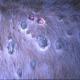نشانههای بیماری لامپی اسکین در گاو
