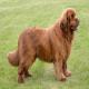 سگ نیوفاندلند (Newfoundland dog)
