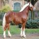 اسب شلزویگ (Schleswig Coldblood)