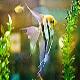 آشنایی با ماهی انجل (Angelfish)