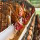 اهمیت مدیریت وزن مرغ های تخمگذار