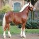 اسب نژاد ساوت ژرمن (South German Coldblood)