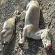 عامل مرگ گورهای ایرانی