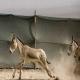 پنج گور جان به در برده از انتقال مرگبار «فرار» کردند