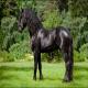 اسب نژاد فریزین (friesian horse)